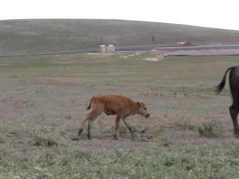 a cute baby buffalo (SD)
