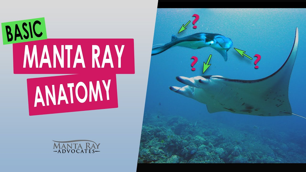 Manta Ray Anatomy Kona Hawaii Youtube