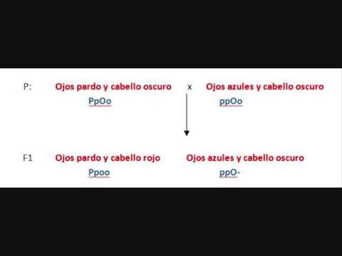 Problemas de genética  - Fenotipo y genotipo -