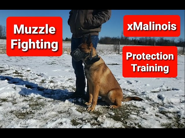 Attack Training with x Malinois