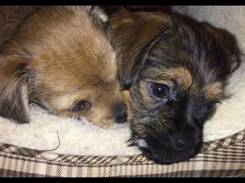 Cutest puppies 2017 || Pug yorkie mix