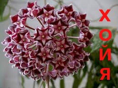 цветок хлоя фото