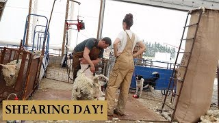 How We Shear Our Sheep (THE CHARLIE METHOD): Vlog 141