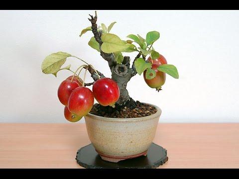 Mini Apple Fruit Bonsai Tree Seeds Part One Youtube
