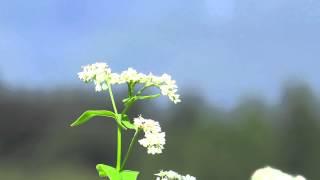 蕎麦の花 フォスター『故郷の人々』