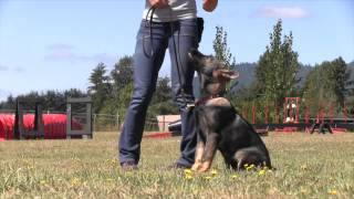 German Shepherd Puppy Obedience Training