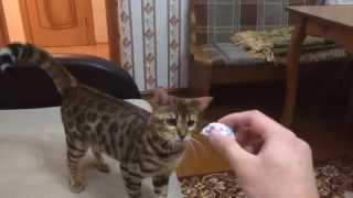 """Бенгальская кошка Шакира выполняет команду """"Апорт"""". Bengal cat Shakira performs а """"Retrieve / Fetch"""""""