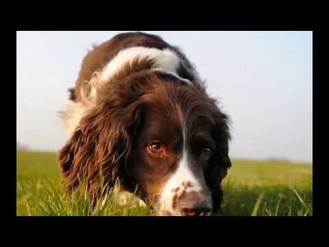 English cocker spaniel [dog breeds]x5