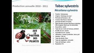Tabac sylvestris nicotiana sylvestris: plante annuelle