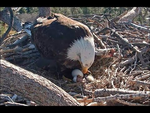 Steve Knoll - Watch Baby Eagle Being Hatched