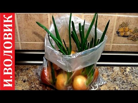 Лук шнитт: выращивание, фото, свойства и особенности