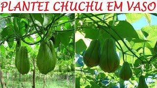 Como Plantar Chuchu em Vasos – Plantio e Produção