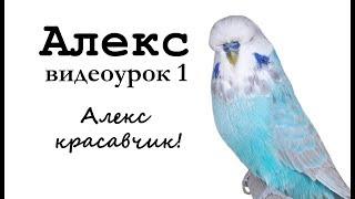 """🎤 Учим попугая по имени Алекс говорить, видеоурок 1: """"Алекс красавчик"""""""