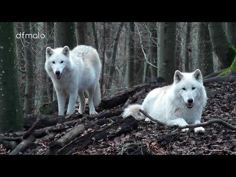 Kasselburg Eifel Gerolstein Germany Wölfe / Loups / Wolves
