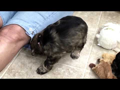 Fiona's schnoodles get their new collars on today 6-16-17