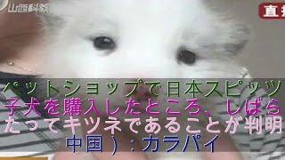 ペットショップで日本スピッツの子犬を購入したところ、しばらくたって...