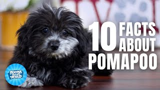 10 Facts about the Pomapoo | Poodle Mixes World