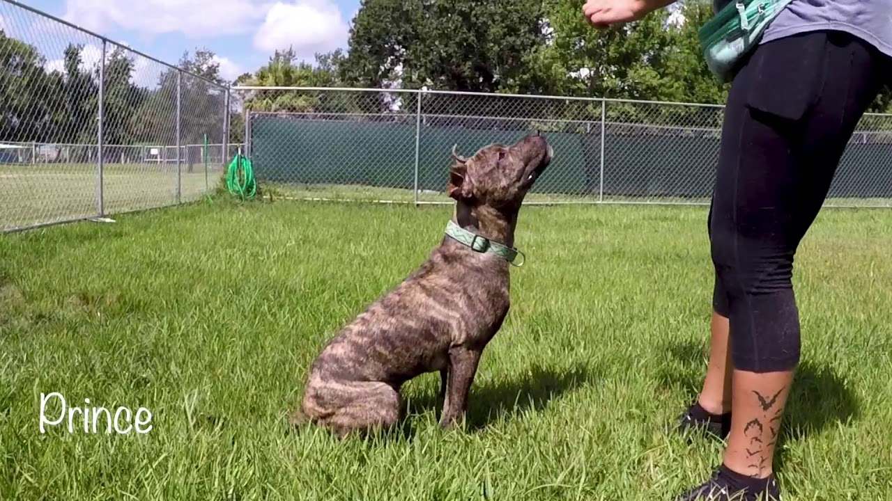 Meet Prince A Treeing Tennessee Brindle
