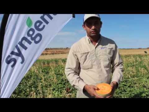 Introducing the Claudia melon variety with International melon breeder, Rakesh Kumar
