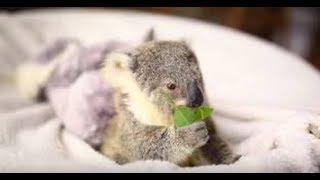 人懐こい赤ちゃんコアラが可愛いすぎる!! 無防備な姿にキュンキュンが...