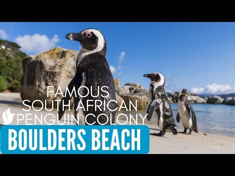 WORLD FAMOUS AFRICAN PENGUINS | Boulders Beach | Simon's Town, Cape Town, South Africa