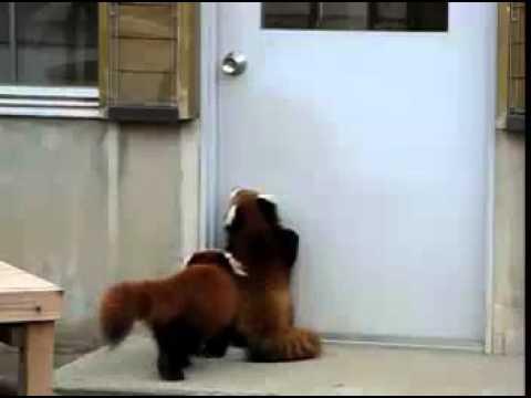 Jumping Red Panda / Un panda roux qui saute