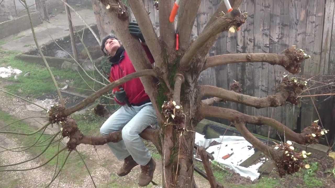 Vivaio Acero Rosso : Acero palmato acer palmatum acer palmatum piante da giardino
