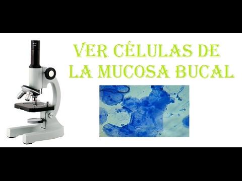 Experimentos De Biología Ver Las Células De La Mucosa Bucal Al Microscopio