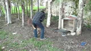 bandog mastif /altıkara köyü