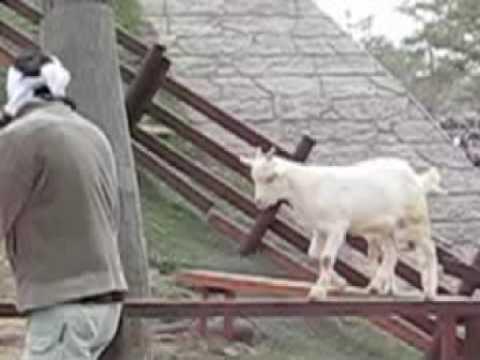 【旭山動物園】子やぎのアスレチック