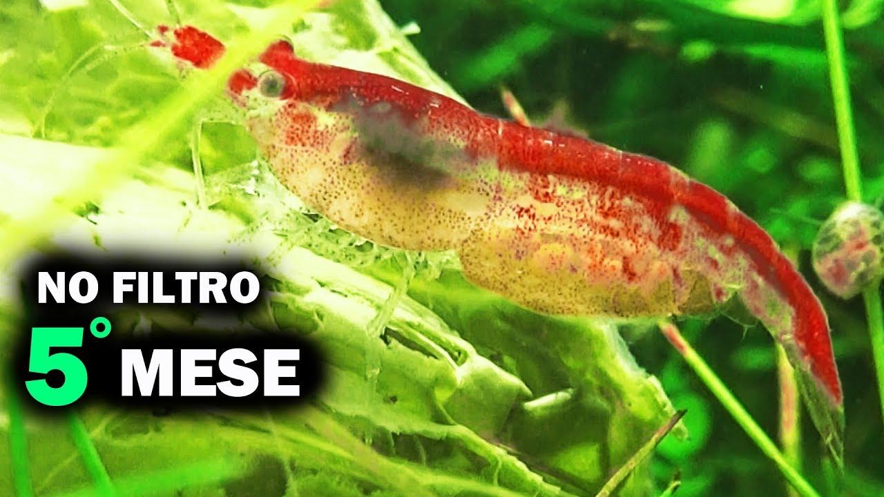 Filtro Ad Aria Caridine.Acquario Senza Filtro 5 Mesi Dopo Le Baby Caridine