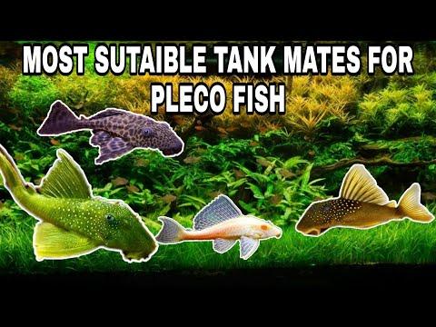 Most Popular Tank Mates For Pleco Fish ( Sucker Fish)   Prathmesh Aquatics