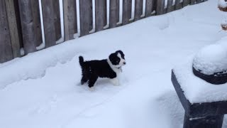 Border Collie Puppy Playing in Snow