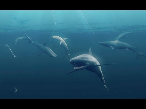 Sharks Play Critical Role in Ocean Food Web | Pew - YouTube