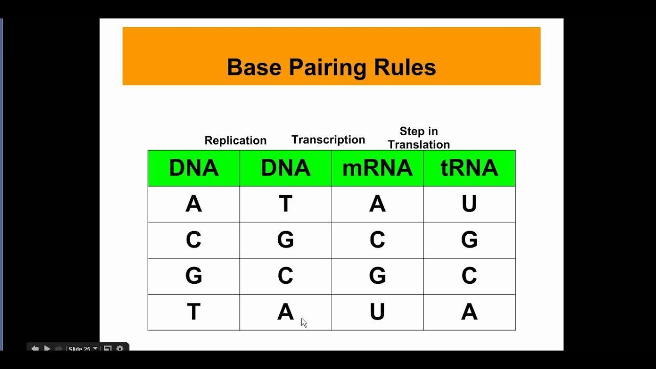 Base Pair In Dna