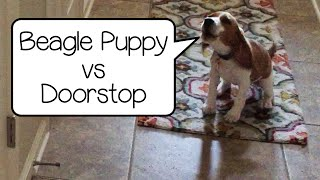 Beagle Puppy Hates The Doorstop! So Funny!