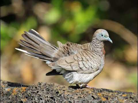 Suara Burung Perkutut Lokal Gacor Manggung