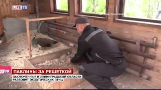 В колонии под Петербургом разводят павлинов