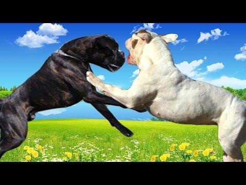 Boxer vs American Bulldog   Highlights