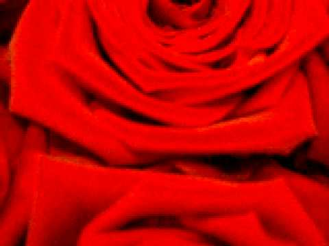 Rose ´Grand Amore´
