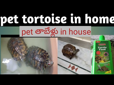 Pet Tortoise In Home Turtles Tortoise Food Turtle In Home Telugu Pet Turtle Mysimply Thoughts Talks Youtube