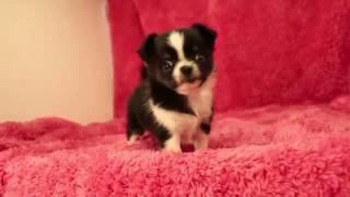 子犬のブリーダー直販支援サイト「子犬の窓口」 吹澤ブリーダーのチワワ...