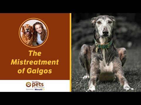 Dr. Becker Discusses The Mistreatment of Galgos with Yeray Lopez