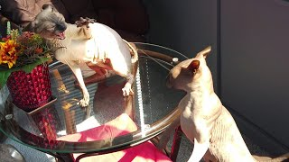 Sphynx cats are in an argument with each other / DonSphynx /