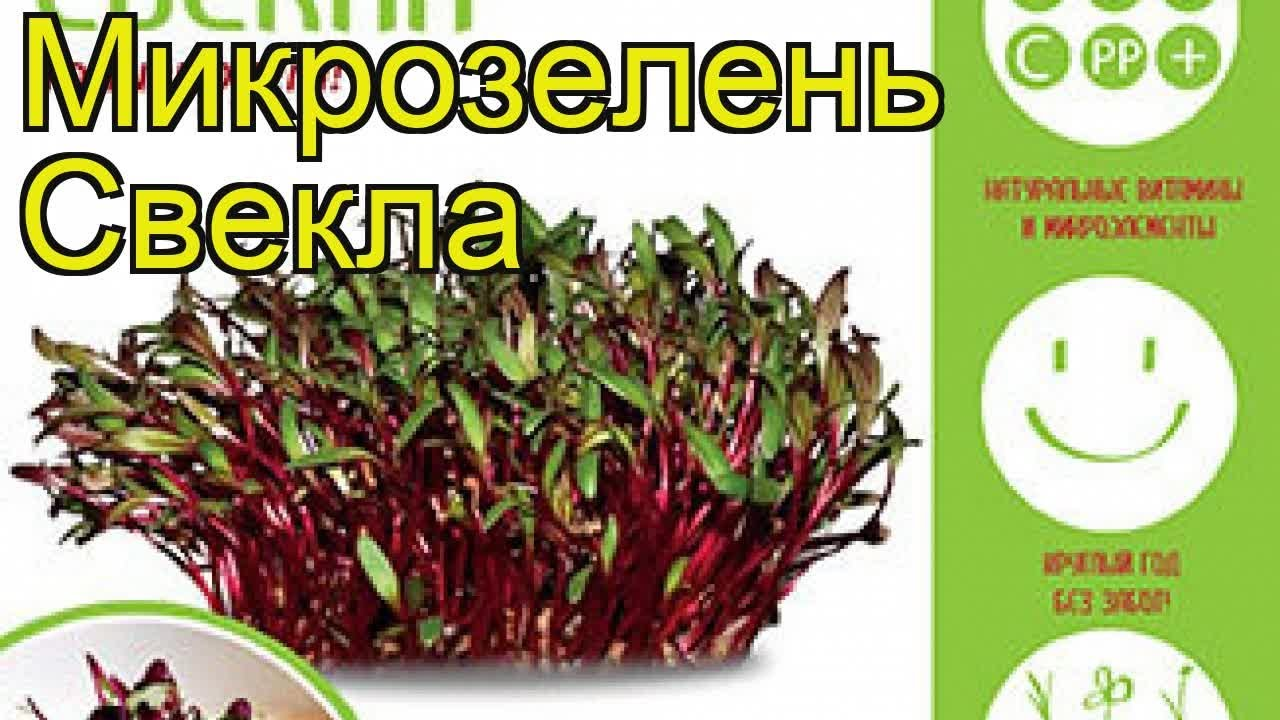 Микрозелень Свекла (Микрозелень). Краткий обзор, описание характеристик, где купить, семена