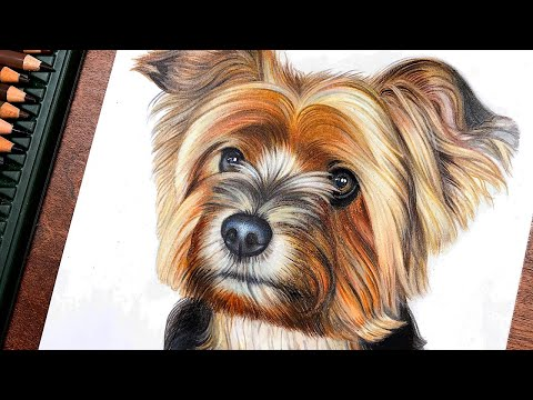 drawing-a-yorkshire-terrier-using-colored-pencils---time-lapse-|-nicartistic
