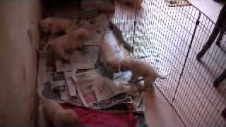 Trixie's Puppies - 3 Weeks Old - Paper Training