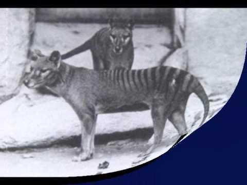 El último tigre de Tasmania (Tilacino)