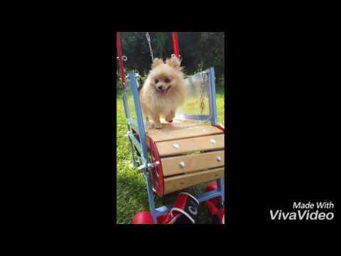 Pomeranian working on Firepaw Mini Breeds Dog Treadmill