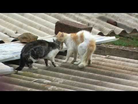Combat De Chat  Chlef RADAR Zone 10 (ivan) Violent * Cat Figth *